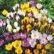 Crocus mix