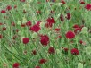 Knautia macedonica RED KNIGHT